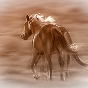 Two Mustangs run wild and free, Sandoval County, New Mexico