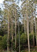 AUSTRALIA - BEDDELUP A general view Karri Trees in  Western Australia. 11/01/2010. STEPHEN SIMPSON...