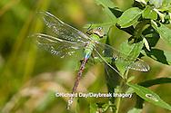 06361-005.12 Common Green Darner (Anax junius) female, Marion Co. IL