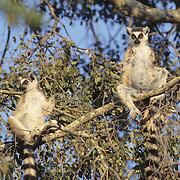 Ring-tailed Lemur (Lemur catta) sunning in the warm morning sun in Madagascar.