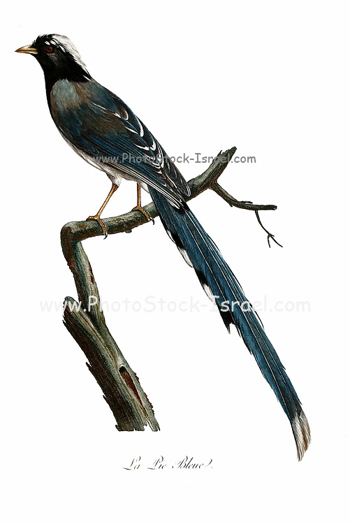Pie bleue - The azure-winged magpie (Cyanopica cyanus) is a bird in the crow family. It is 31–35 cm long and similar in overall shape to the Eurasian magpie (Pica pica) but is more slender with proportionately smaller legs and bill. It belongs to the genus Cyanopica. from the Book Histoire naturelle des oiseaux d'Afrique [Natural History of birds of Africa] Volume 2, by Le Vaillant, François, 1753-1824; Publish in Paris by Chez J.J. Fuchs, libraire 1799