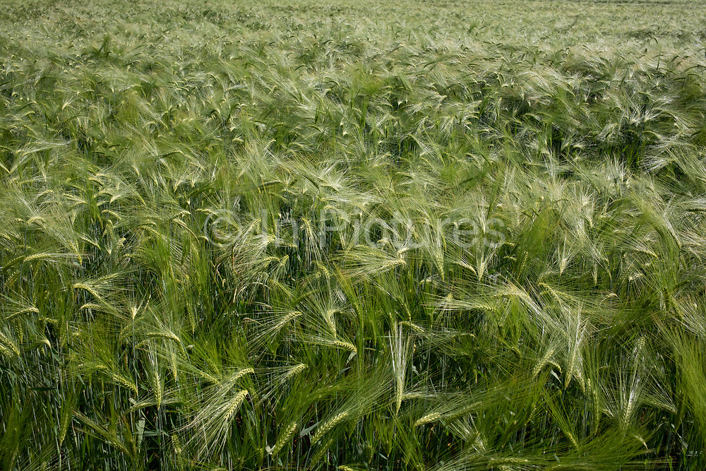 Barley field on agricultural farmland in Huddington, United Kingdom.