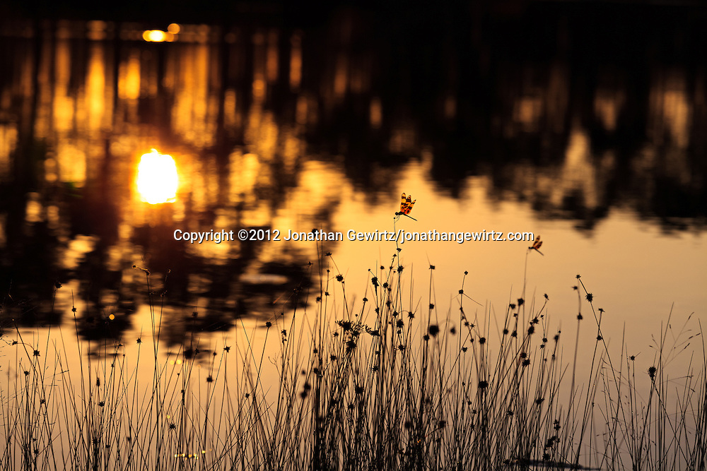 Dragonflies alight on grass stalks as the morning sun rises in the background on the lake at Long Pine Key campground in Everglades National Park, Florida. WATERMARKS WILL NOT APPEAR ON PRINTS OR LICENSED IMAGES.