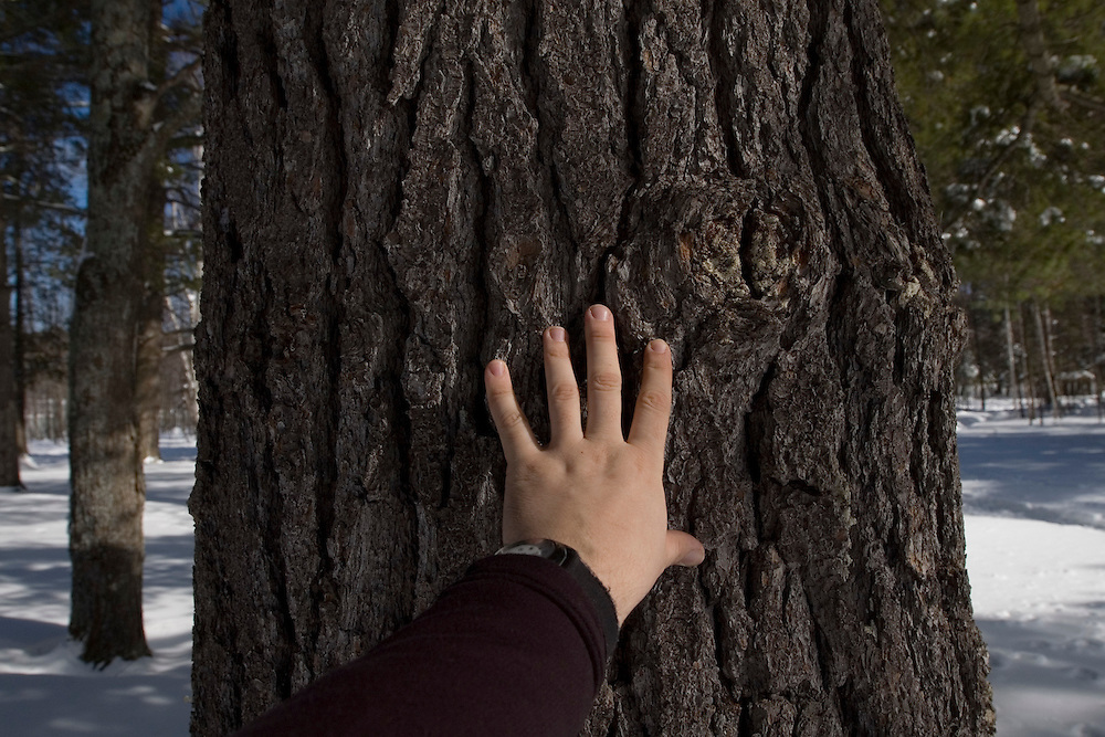 A person's hand illustrates the size of a large pine tree in Michigan's Upper Peninsula.