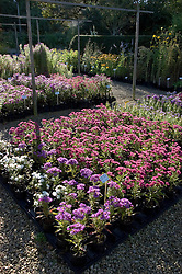 Asters for sale at Old Court Nurseries