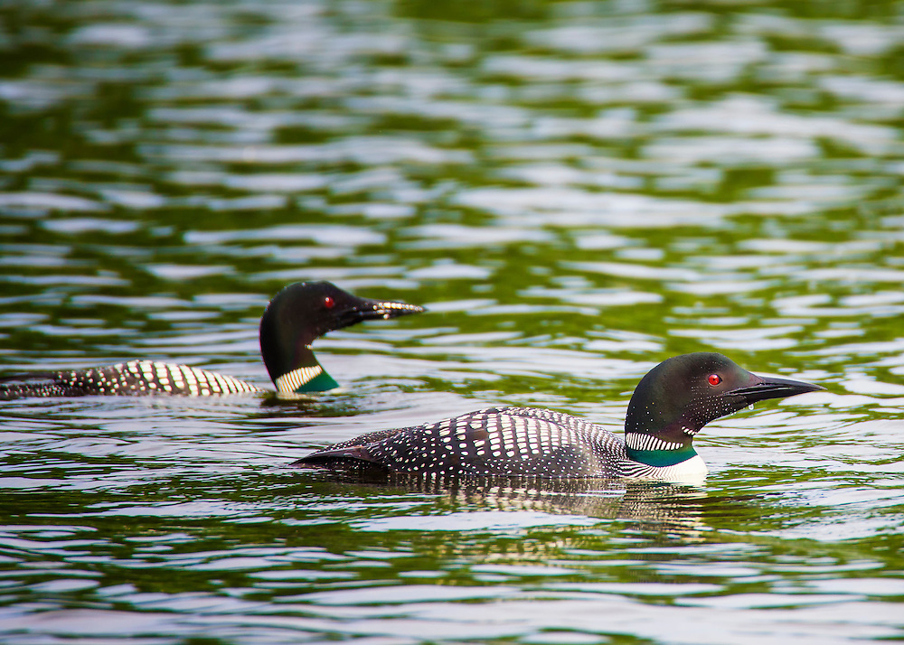 Loons are found on lakes throughout central and northeastern Minnesota. In September, Minnesota's adult loons travel to their winter home along the Atlantic coast from North Carolina south to Florida, or on the Gulf of Mexico.