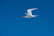 Royal Tern (Thalasseus maximus)<br /> Little St Simon's Island, Barrier Islands, Georgia<br /> USA<br /> HABITAT & RANGE: Coastlines of Europe, Africa, the Americas, and the Caribbean islands.