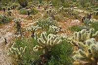 Cholla cactus (Opuntia cholla) in the spring at the Anza-Borrego Desert, California, USA