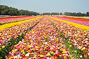A field of multicolor cultivated Buttercup (Ranunculus) flowers for export to Europe. Photographed in Israel Northern Negev