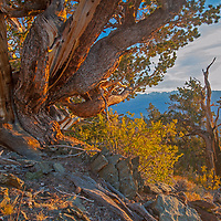 The sun sets over the the Ancient Bristlecone Pine Forest in California's rugged White Mountains.  Behind is the Owens Valley and eastern Sierra Nevada.