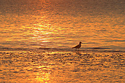 Gull at sunrise, Moray Firth, Inverness-shire, Highland, Scotland