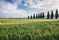 Fields of wheat with poplar trees, Skagit Valley Washington USA