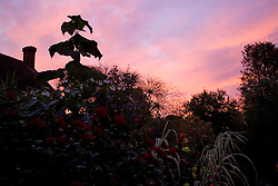 Dawn in the exotic garden at Great Dixter. Silhouette of Paulownia tomentosa