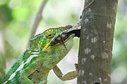 Globe-horned Chameleon (Calumma globifer) with prey Photographed in Madagascar in October