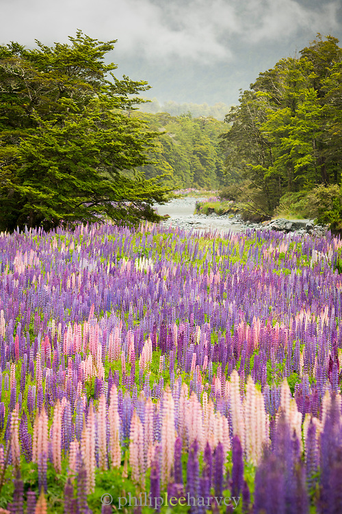 Landscape with lots of purple blooming lupines on the road to the Milford Sound, Hollyford Valley, Fiordland National Park, South Island, New Zealand