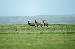 """Elk move through land near the Oxarart Ranch near Malta, Montana on June 2, 2013. The Oxarart Ranch is part of an innovative grass bank project that allows ranchers to graze their cattle at discounted rates on Nature Conservancy land in exchange for improving conservation practices on their own """"home"""" ranches. In 2002, the <br /> Conservancy began leasing parts of the ranch to neighboring ranchers who were suffering from several years of severe drought essentially offering the Matador's grass to neighboring ranches in exchange for their  participation in conservation efforts. Thirteen ranchers graze their cattle on the Matador and the grassbank has enabled TNC to leverage conservation on more than 225,000 additional acres of private land without the cost of purchase of the land or of easements. (Photo By Ami Vitale)"""