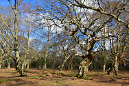 Ancient Oak in Matley Wood, New Forest National Park near Lyndhurst, Hampshire