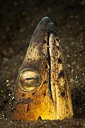 Black-finned snake eel: Ophichthus melanochir, emerging from volcanic black sand, Komodo National Park