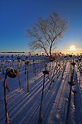 Sunflowers at sunrise in winter<br />