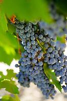 10 September 2006:  Mature wine grapes on vine in Temecula, California.  Stock Photo