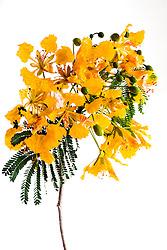 Royal Poinciana -yellow#37