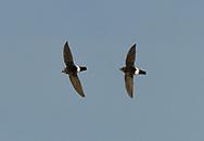 Little Swift - Apus affinis