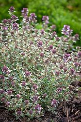 Thymus 'Silver Posie'. Common thyme