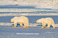 01874-12310 Polar bear (Ursus maritimus) mother and cub walking on frozen pond, Churchill Wildlife Management Area, Churchill, MB Canada