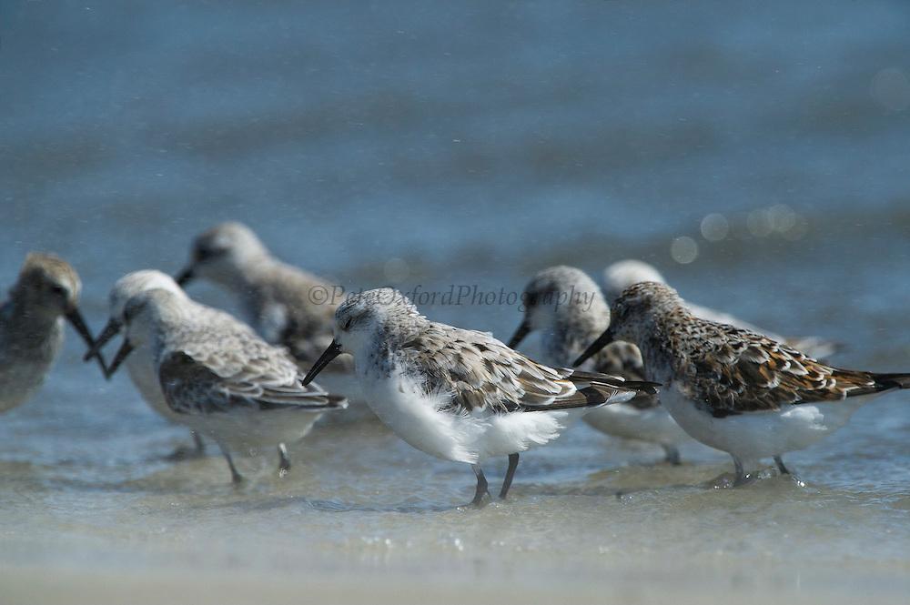 Sanderling (Calidris alba)<br /> Little St Simon's Island, Barrier Islands, Georgia<br /> USA<br /> HABITAT & RANGE: Circumpolar Arctic breeder and long-distance migrant