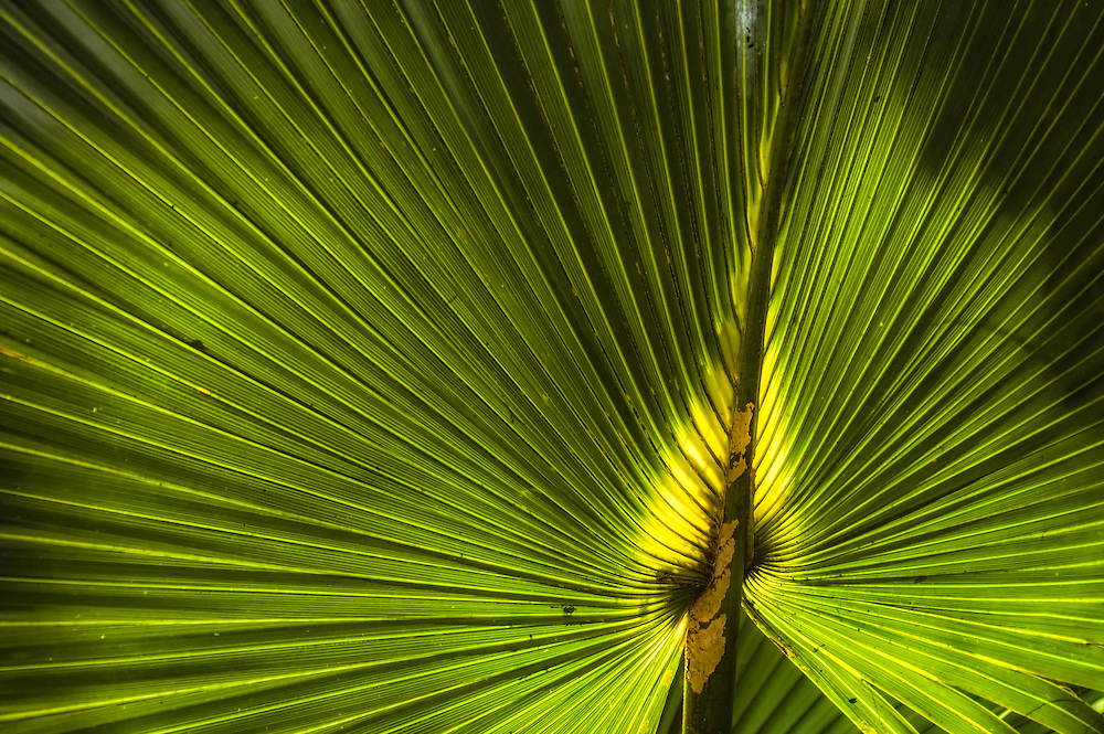 Close-up detail of a cabbage palm frond (also known as a sabal palm) in rural Eastern Lee County in Southwest Florida.
