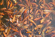 Crowded fish pond inside the Imperial City in Hue, Vietnam.