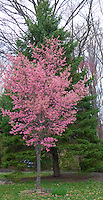 Cherry Tree in Bloom. Spring in New Jersey. Image taken with a Leica D-Lux 5 (ISO 100, 14.9 mm, f/3, 1/125 sec)