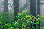 Redwood trees, Rhododendrons, and fog, Redwood National Park, California