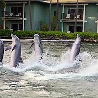 USA, Hawaii, Honolulu. Dolphin Quest Activity at The Kahala Resort.