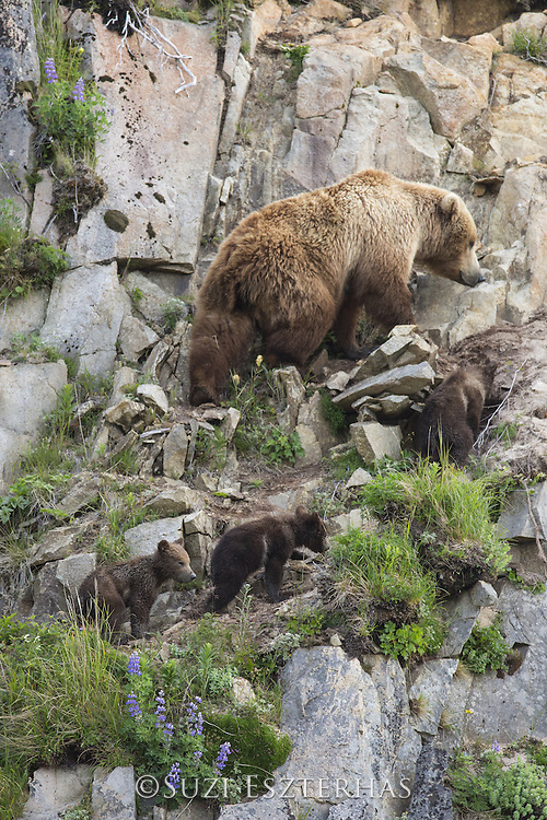 Brown Bear<br /> Ursus arctos <br /> Mother and 3-4 month old triplet cubs heading up steep hill<br /> Katmai National Park, AK