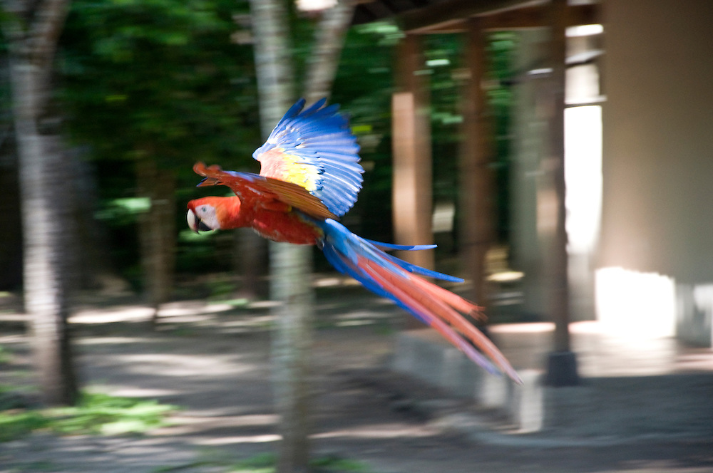Scarlet Macaw (Ara macao) at Copan Ruins, Honduras. June 2009.  (Photo/William Byrne Drumm)