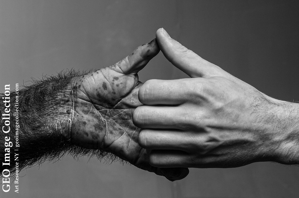 Adult male human hand juxtaposed with hand of six-year-old chimpanzee.