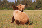Two juvenile Brown or Grizzly Bear cubs play, Lake Clark National Park, Alaska.