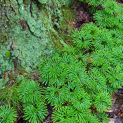 Ground Cedar (ground pine), Lycopodium tristachyum, also known as club moss, next to a lichen covered tree trunk in the Hubbard Brook Experimental Forest.  White Mountain National Forest .  Near Mirror Lake.