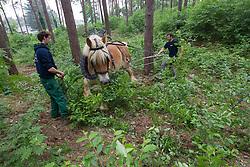 Paardenkracht in het boslandschap<br /> De Winning - Lummen 2012<br /> © Dirk Caremans
