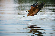 Black-collared Hawk (Busarellus nigricollis)<br /> Northern Pantanal<br /> Mato Grosso<br /> Brazil