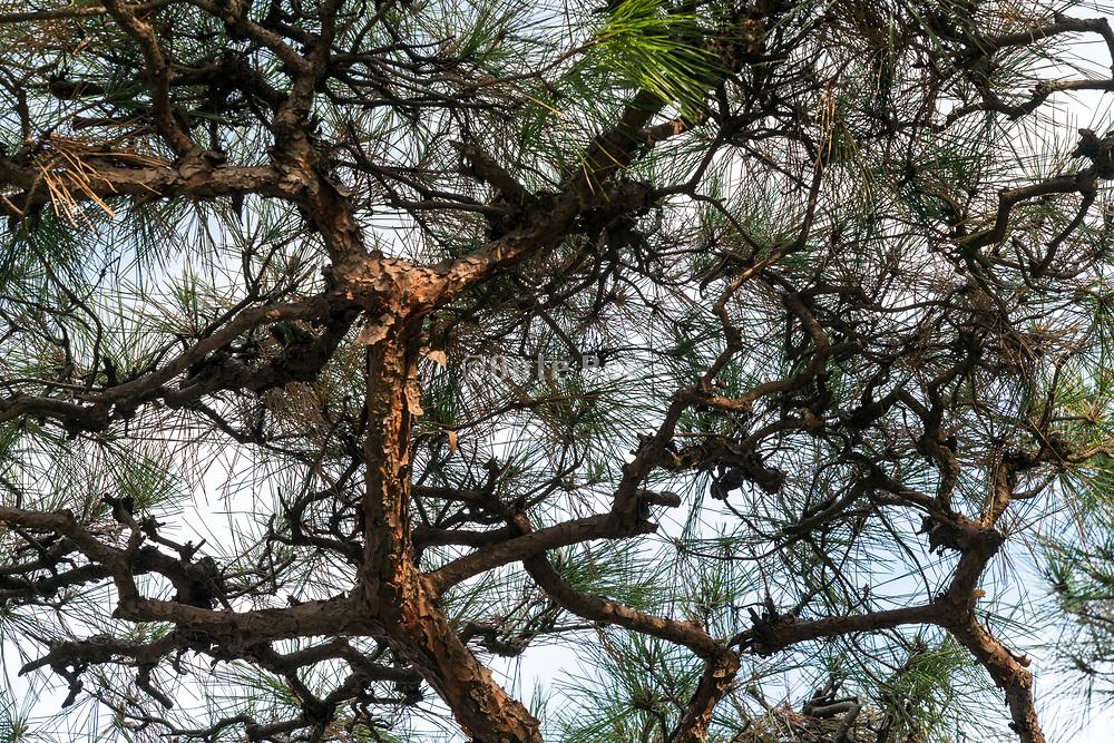 upwards view of a Japanese garden pine tree