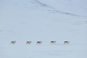 Svalbard reindeer (Rangifer tarandus platyrhynchus) in Foxdalen, Svalbard.