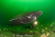 Greenland sleeper shark ( Somniosus microcephalus )<br /> and photographer St. Lawrence River estuary Canada<br /> (this shark was wild & unrestrained it was not hooked<br /> and tail-roped as in most or all photos from the Arctic)<br /> MR 373