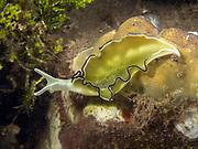 Nudibranch at Tufi House Reef, Papua New Guinea