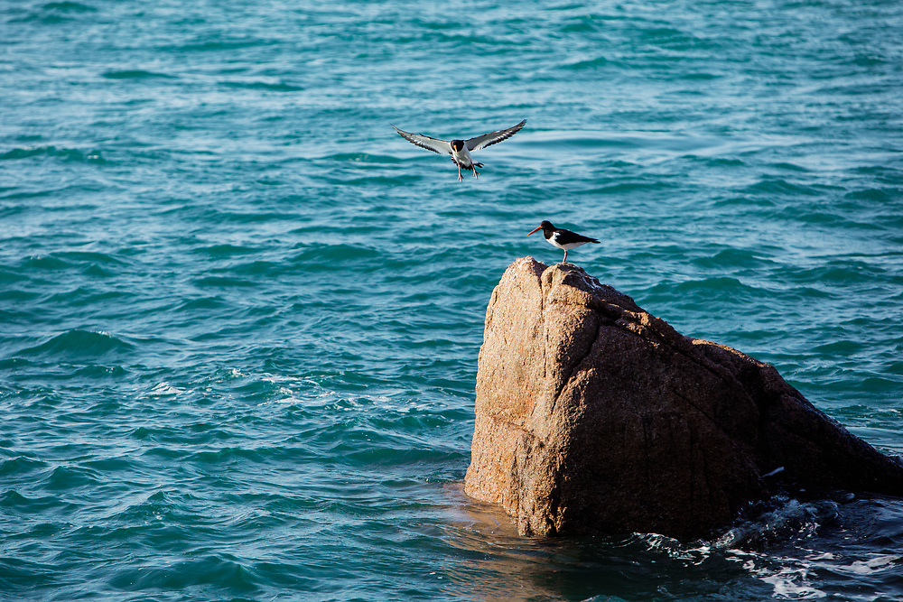 Oyster catchers, one standing on the rocks, the other flying in to land, off the coast of Jersey, Channel Islands