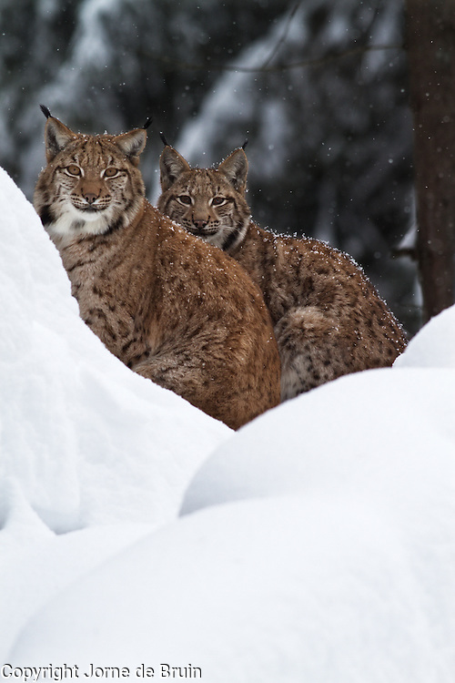 Two Lynx are sitting on a snowy hill in the wildlife park of the Bavarian Forest.