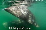 friendly gray whales, Eschrichtius robustus, mother (below & behind) and calf (at surface), San Ignacio Lagoon, El Vizcaino Biosphere Reserve, Baja California Sur, Mexico