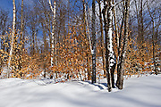 Beech trees in winter<br /> MOrin Heights<br /> Quebec<br /> Canada