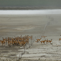 A herd of guanacos stampedes over a fence by Lago Amarga, near Torres del Paine National Park in Patagonia, Chile.